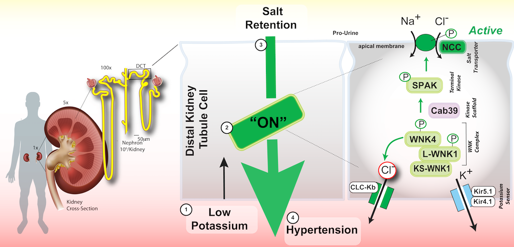 Research : Potassium and High Blood Pressure